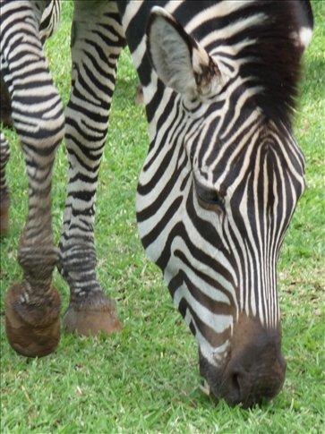 Resident Zebra at Zambezi Sun - grazing outside Hotel Reception