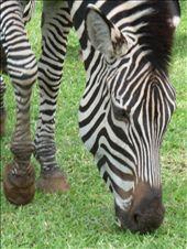 Resident Zebra at Zambezi Sun - grazing outside Hotel Reception: by pshah13, Views[244]