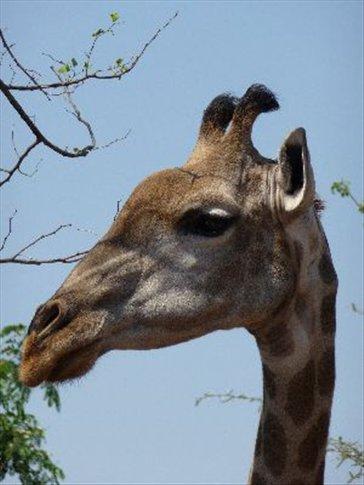 This giraffe was actually posing for me!!!