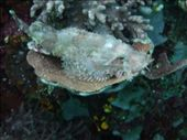 Unknown fish resting on coral: by pshah13, Views[269]