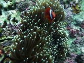 Clownfish (Nemo) in anemone: by pshah13, Views[187]