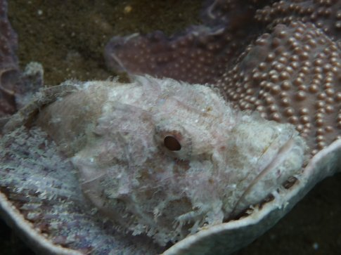 Stonefish resting on coral