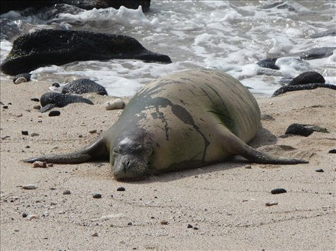 Hawaiian Monk Seal - Endangered but rare appearance on a public beach