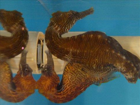 Cute Seahorses