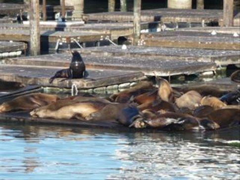 Seals at a Pier in SF bay