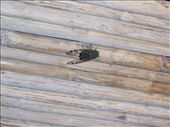 Not such a good photo of a Cicada - these guys are can be deafening in the evening: by rachel_and_daniel, Views[335]