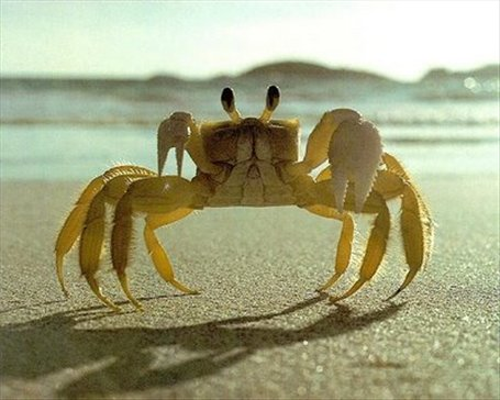 Fiddler crab - this isn´t mine, as I haven´t got any photo´s of crabs yet - so I pinched it of e-picworld - sorry!