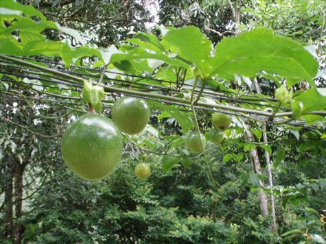 Hanging passion fruit