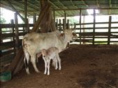 Costa Rican cow and her calf - these guys can be seen up and down the mountain slopes.: by rachel_and_daniel, Views[401]