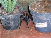 The biggest tarantula i´ve (or anyone else) had ever seen - on our porch, ´hiding´ in the aloe plants.: by rachel_and_daniel, Views[703]