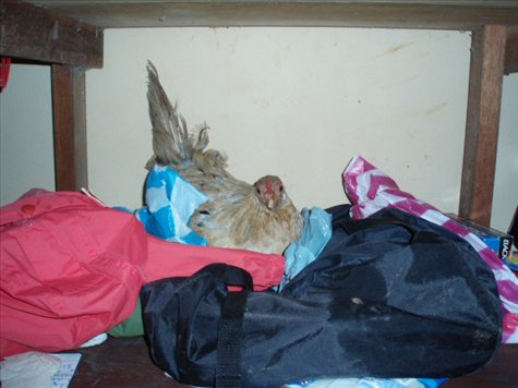 Kevina the hen in our wardrobe...