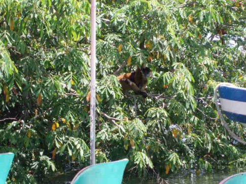 Howler monkeys on one of the Isletas, Granada