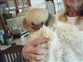 Rescued baby 2-toed sloth.  Not very cute at all, honestly.: by rachel_and_daniel, Views[455]