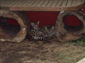 A couple of rescued Ocelot cubs, hopefully to be eventually re-introduced into the wild. Paradise Gardens.: by rachel_and_daniel, Views[418]