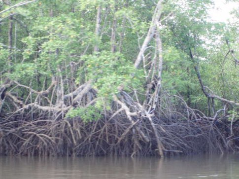 Mangrove swamp on tip-toes, on the journey from Sierpe to Bahia Drake