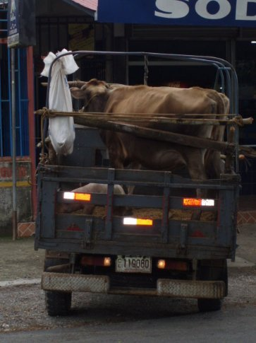 Cow and pig transport, Costa Rican style - Palmar Norte