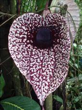 Enormous flower, Santa Elena orchid garden: by rachel_and_daniel, Views[1320]
