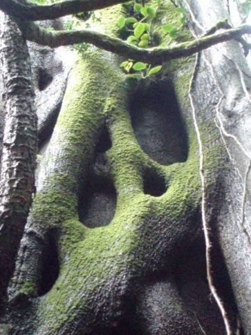 Strangler vine, Volcan Rincon