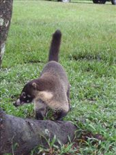 A rather tame coati, rootling around in the grass for bugs: by rachel_and_daniel, Views[282]