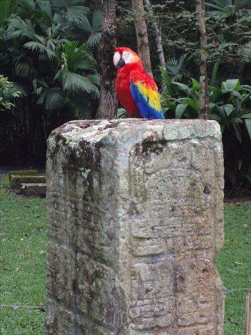 Scarlet Macaw on inscribed pillar - not bad!