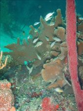 Stripey fish, and staghorn coral: by rachel_and_daniel, Views[250]