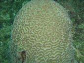 Brain coral: by rachel_and_daniel, Views[231]