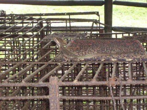 Jesus Christ lizard, Cockscombe Basin Reserve