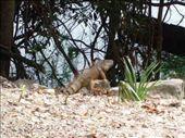 Lovely adult Iguana, Xunantunich: by rachel_and_daniel, Views[251]