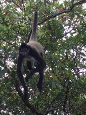 A Spider Monkey asking for a banana: by rachel_and_daniel, Views[265]