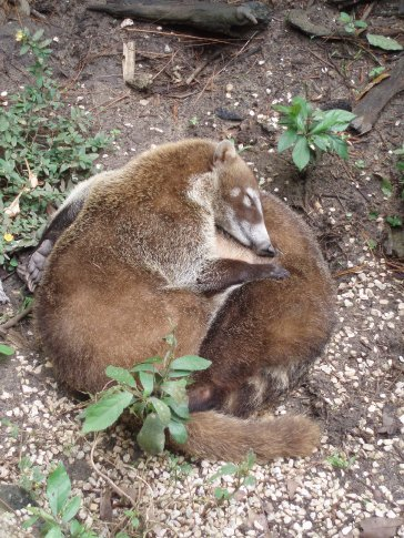 Its a hard life being a Coatimundi.  Nothing to do but doze with a friend and growl at any approaching racoons.
