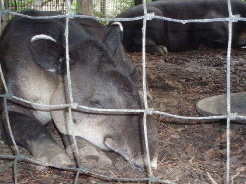 Sleepy Bairds Tapirs.  So cute!
