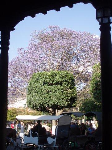 Jacaranda trees in bloom in the central plaza, Antigua