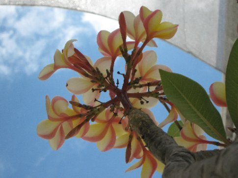 Flame tree, museum of modern art, Oaxaca