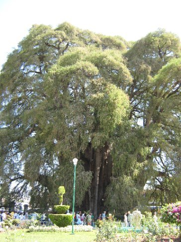 2000 yr old Cypress - Santa Maria del Tule