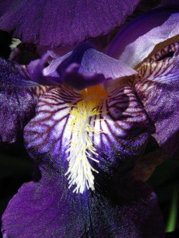 Iris, Creel