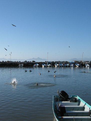 Brown pelicans diving for fish in Loreto harbour