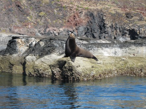 Bull sealion showing off
