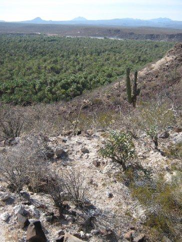 Date palms of San Ignacio - surrounded by desert...