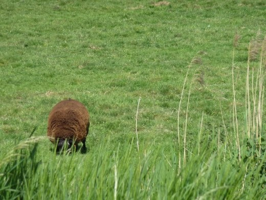 Where brown wool comes from
