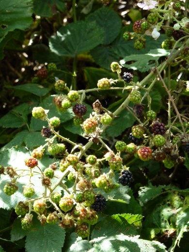 Wild Blackberries (they weren't ready yet)