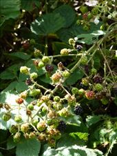 Wild Blackberries (they weren't ready yet): by rachthe1st, Views[190]