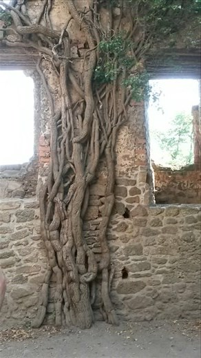 Cool tree-root-vines growing inside the castle wall
