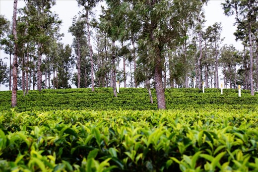 Carpet of fresh tea leaves, waiting to be plucked
