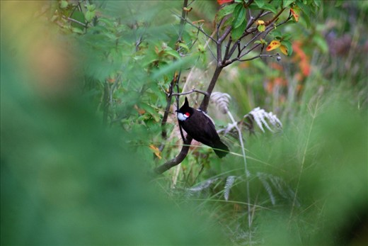 One more feather to my collection - Spotted a Red Whiskered Bulbul