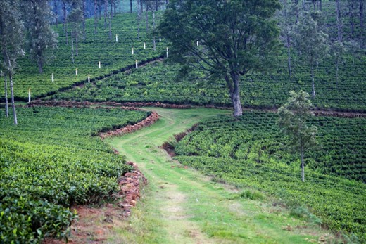 Lazy evening walk through the tea plantations