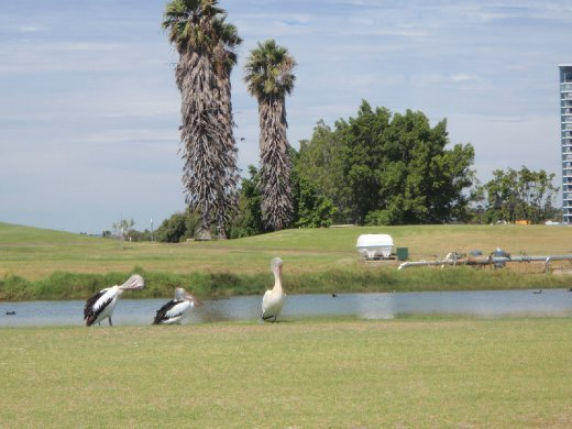 Pelicans! Just chillin' beside a stream. So cool. This was when I rented a bike and rode around the Swan river (the water in this picture is from a golf course I think).