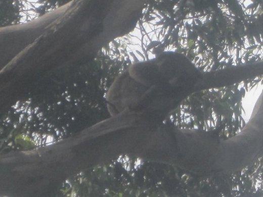 Another Koala...