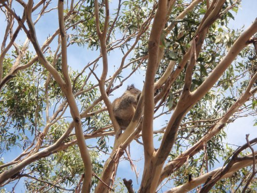 Koalas! the first ones we saw in the wild.