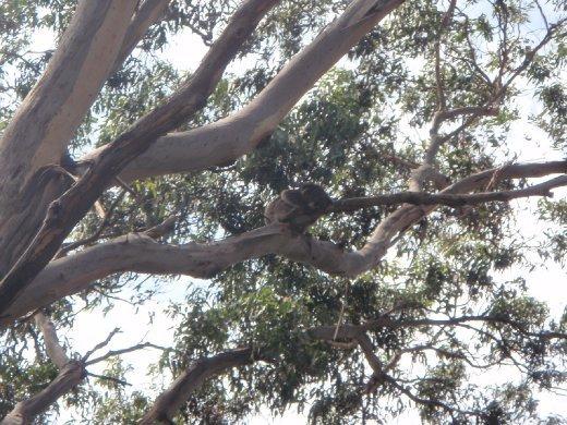 ... more koalas.