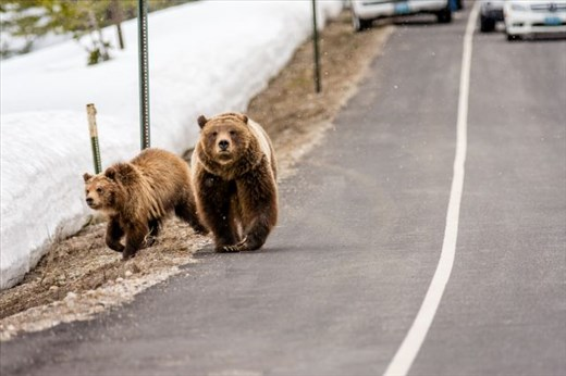 Scenes like this, where famous Grizzly Bear 399, walks her cubs directly up the roadside in Grand Teton National Park, WY while humans stand around watching as if all things are normal, are becoming way too common. Are we loving our wildlife to death?